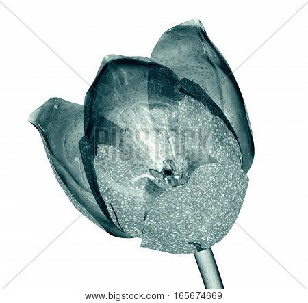 Flower Isolated On White , The Tulip
