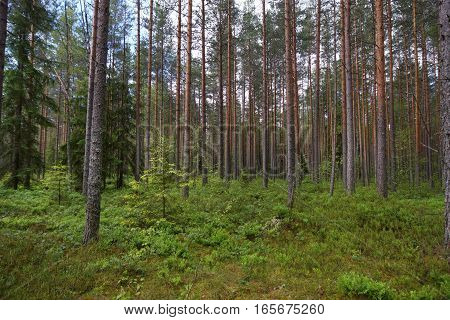 Glade in a pine forest, a lot of greenery on the ground, straight trunks of pine trees