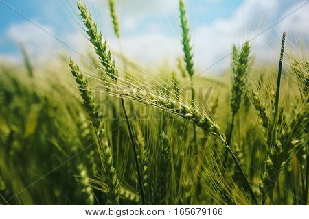 Beautiful green wheat ears growing in field rural scenery selective focus