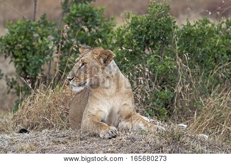 African lioness resting in shadow Eastern Africa