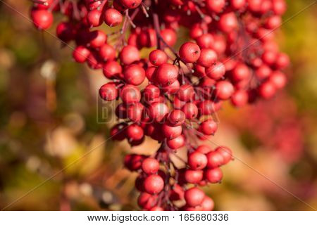 Heavenly Bamboo (Nandina Domestica) berries blooming in the winter
