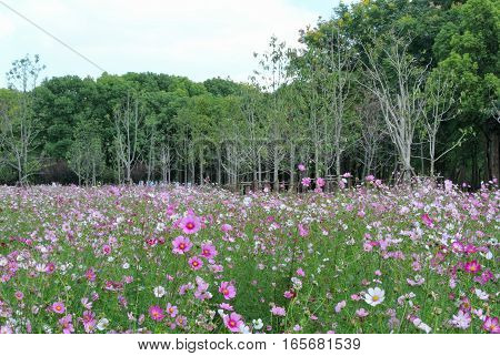 A field of pink and white wildflowers blooming in a garden at Century Park in Pudong new area of shanghai china.