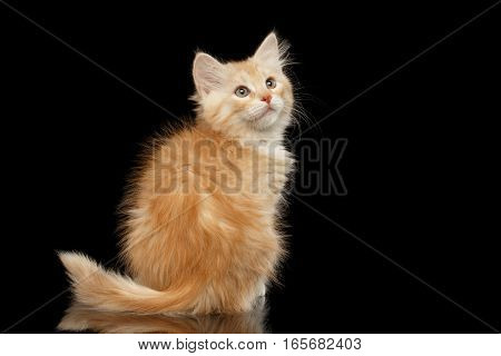 Ginger Siberian kitty sitting and looking up on isolated black background with reflection, back view