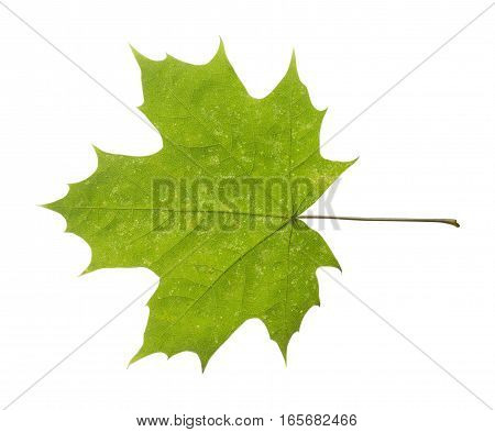 maple closeup leaf isolated on white background.