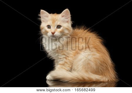 Ginger Siberian kitty sitting on isolated black background with reflection, side view