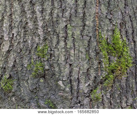 The bark of pine tree nature background