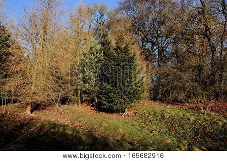 English woodland landscape in winter with deciduous trees, Scots pine and fir trees on the scenic Yorkshire wolds.