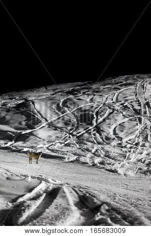 Dog On Ski Slope In Winter Night