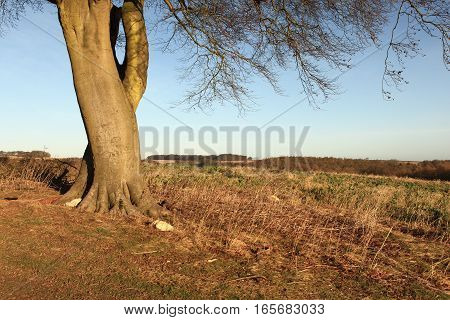 Farming landscape of the Yorkshire wolds viewed from beneath the branches of a mature Beech tree in winter