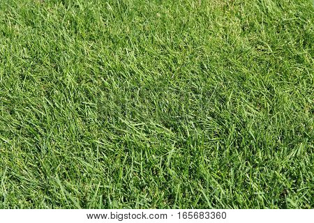 The Green grass texture for nature background