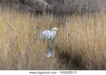 Single Whyte Egypt Egret Searching Eat In The Water