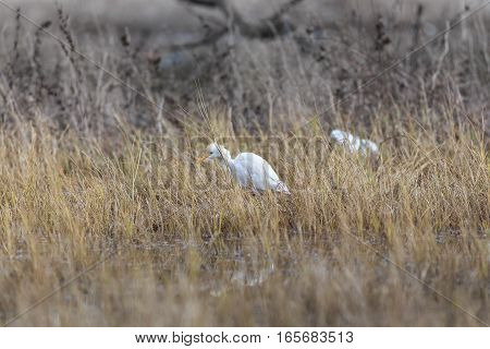 White Egypt Egret Searching Eat In The Water