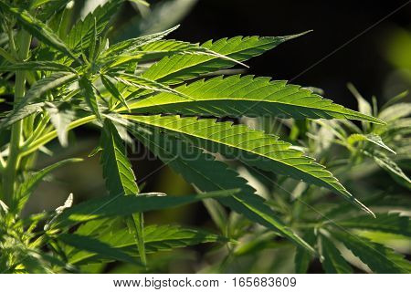 marijuana plants are legal to grow in Colombia for personal use, up to twenty plants per person