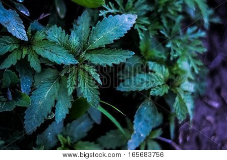 Leaves of growing cannabis ruderalis sprout. marijuana