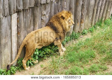 Leo (lat. Panthera leo) is a carnivorous mammal of the genus Panther (Panthera) of the subfamily of large cats (Pantherinae) the cat family (Felidae)
