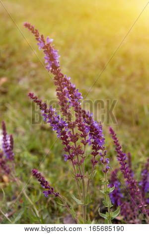 meadow sage growing in a green field