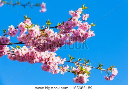 Pink Flowers Of Cherry Tree On Blue Sky