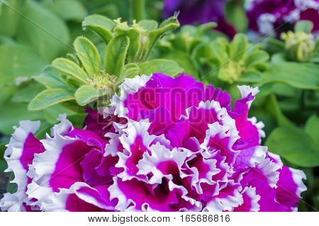 Purple petunia flower and green leaves, floral background
