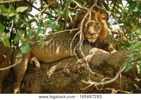 Detailed view of Lion with mane taking a nap on a tree branch, looking at camera poster