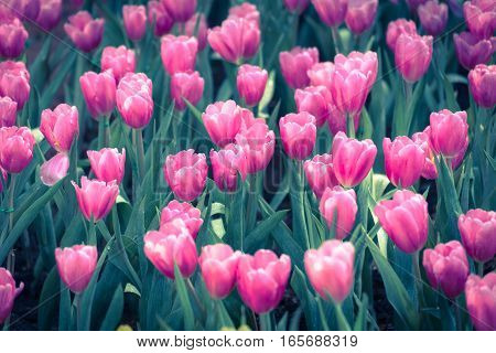 Beautiful bouquet of pink tulips in spring season with flare of sunlight in morning