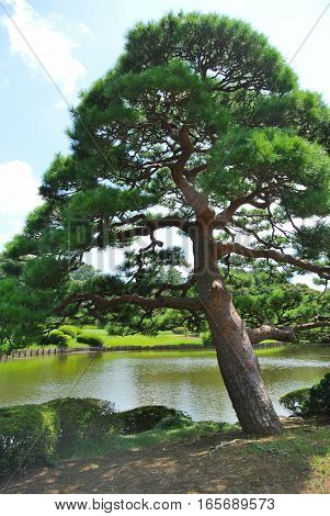An evergreen pine tree growing near a small lake within the Shinjuku Gyoen National Garden in Tokyo Japan on a sunny day.