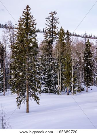 Aspen and pine forest after snow storm in winter