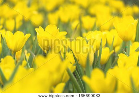 Beautiful bouquet of yellow tulips in spring season with flare of sunlight in morning