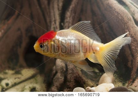 A fish swimming in the home aquarium
