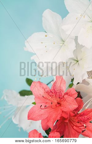 Close up of white and salmon pink azalea flowers with copy space blue background and photo filter applied.
