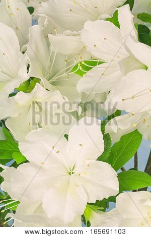 Close up of white azalea flowers with photographic filter applied