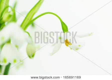 Spring Snowflakes leucojum flowers a small bulb in tha Amaryllis family.