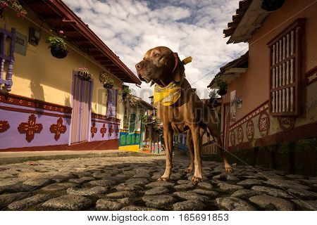 golden colour vizsla dog with scarf standing on cobblestone street in the colonial town of Guatape in Colombia