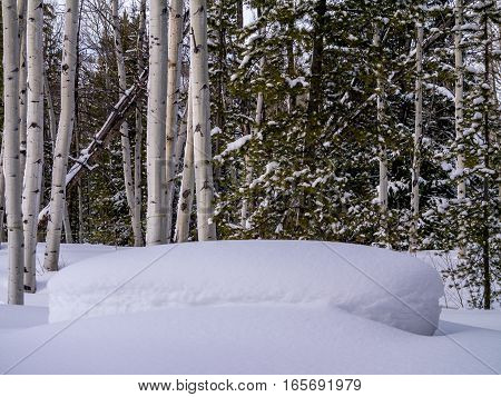 Wintery scene with aspens pines and mounded snow