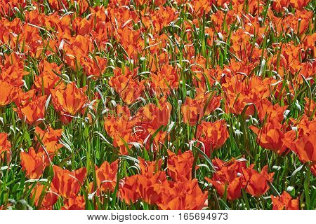 Red Tulips Among Grass