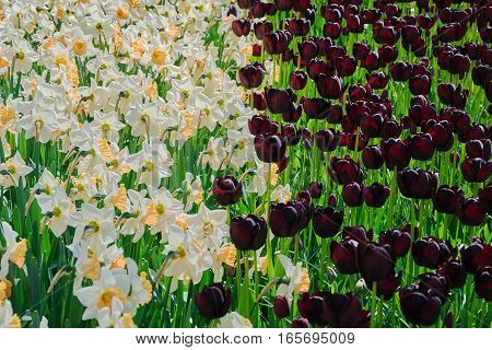 Narcissuses And Tulips