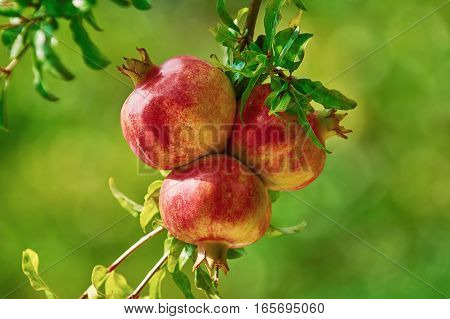 Two Mature Pomegranate Fruits on the Tree