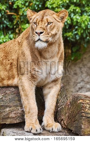 Lioness On The Log