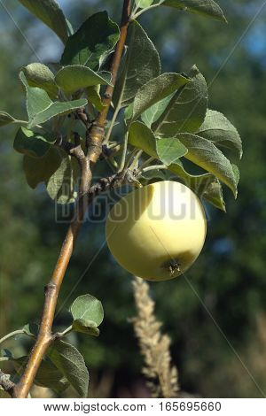 Apple varieties White filling growing on apple tree branch on a hot summer day vertical photo close-up