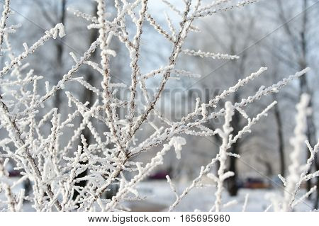 Branches covered with hoarfrost. Tree with ice and snow, winter nature background.