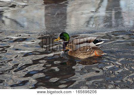 Wild duck - mallard  swimming on a lake with cold dark water.