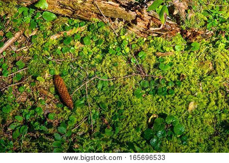 Sunlit Forest Ground with Fir Cone and Green Moss