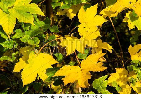Close-up of Sunlit Yellow Maple Leaves in Autumn