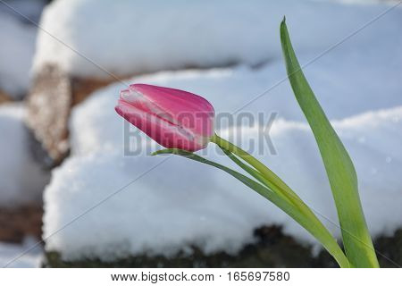 Pink tulip (Tulipa) stands before snowy firewood heap