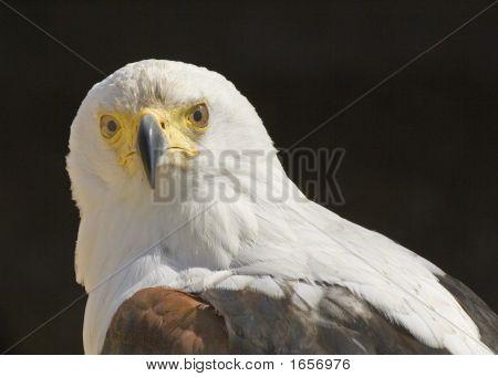 African Fish Eagle Portrait