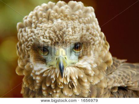 Bateleur Eagle Juvenile Portrait 2