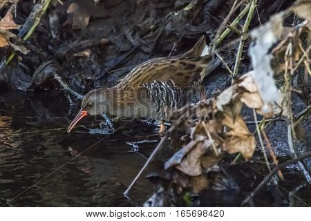 A Water Rail (rallus Aquaticus) Is Wading Through The River Erbach.