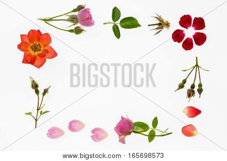 colourful roses and petals frame isolated on white background