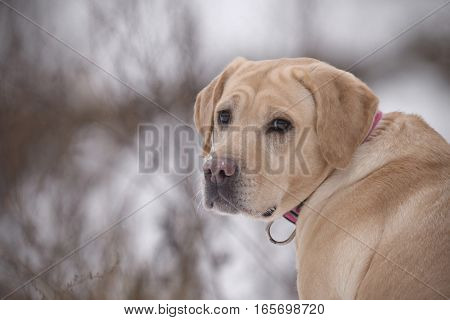 red dog of breed Labrador the Retriever looked back