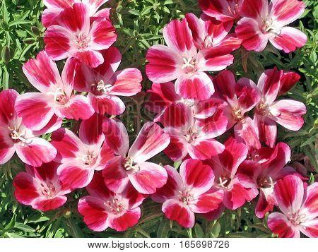 Phlox flowers in park of Ramat Gan Israel April 3 2008