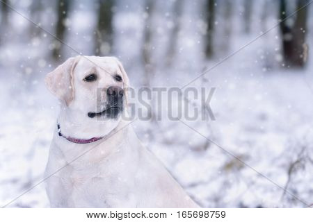 portrait dog breed Labrador Retriever in the winter during a snowfall